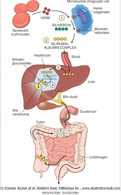 BILIRUBIN METABOLISM: Best diagram I have ever seen for this process