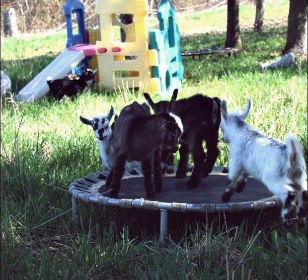 Diy Spielzeug Fur Ziegen Um Sie Beschaftigt Zu Halten Westafrikanische Zwergziege Ziege Spielplatz Ziege