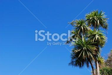 Cabbage Tree (Cordyline Australis), New Zealand Royalty Free Stock Photo