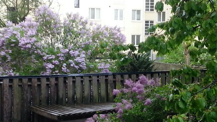Rainy may 2014, really cold. But wonderful flowers growing on the trees... Photo by Lisbeth Sjöstrand.