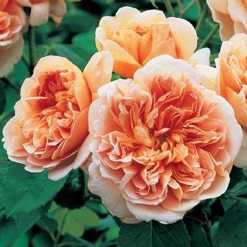 English Rose 'Tea Clipper'