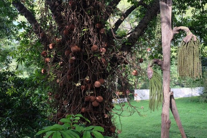 Cannonball tree  This tree gets its name from the shape of its fruit. The cannonball trees are native to the rainforests of South and Central America. The native Amazonians used to harvest parts of the tree for their medicinal purposes, using them to treat anything from the common cold to types of cancer.