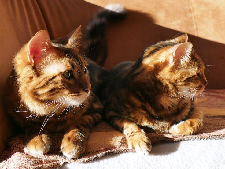 Die Rasse der Bengalkatzen ist durch die unterschiedlichsten Einkreuzungen entstanden. Darunter befanden sich auch Langhaarkatzen, sodass Cashmere-Pardino-Katzen daraus entste ...