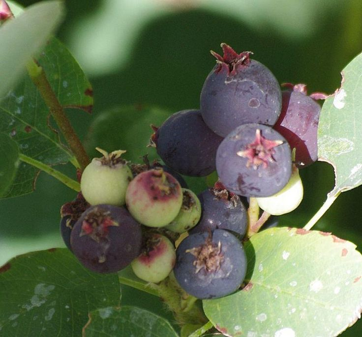 WESTERN SERVICE BERRY:  Deciduous, slow to10', looks like a blueberry, tastes like a blueberry