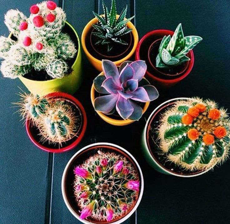 colorful cacti to decorate your room