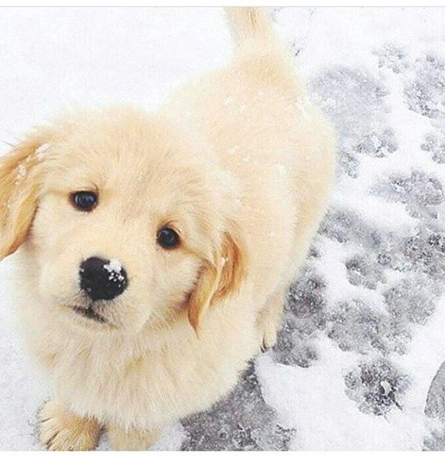 Golden retriever puppy, love this colour so much