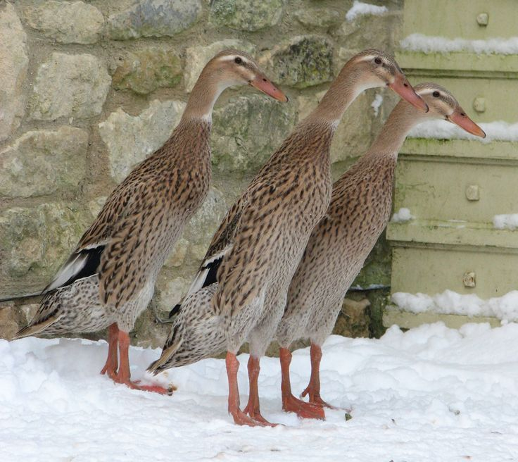 """Runner Ducks.....always so funny...they look like they're standing """"at attention"""""""