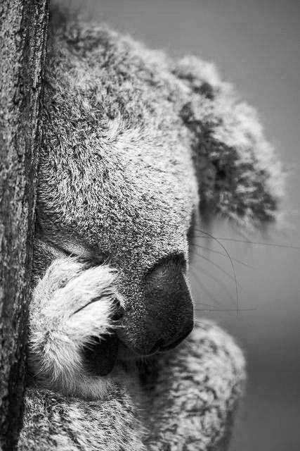 K= Koala