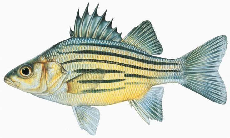 308 best art illustration all kinds of fish in the world for North american freshwater fish