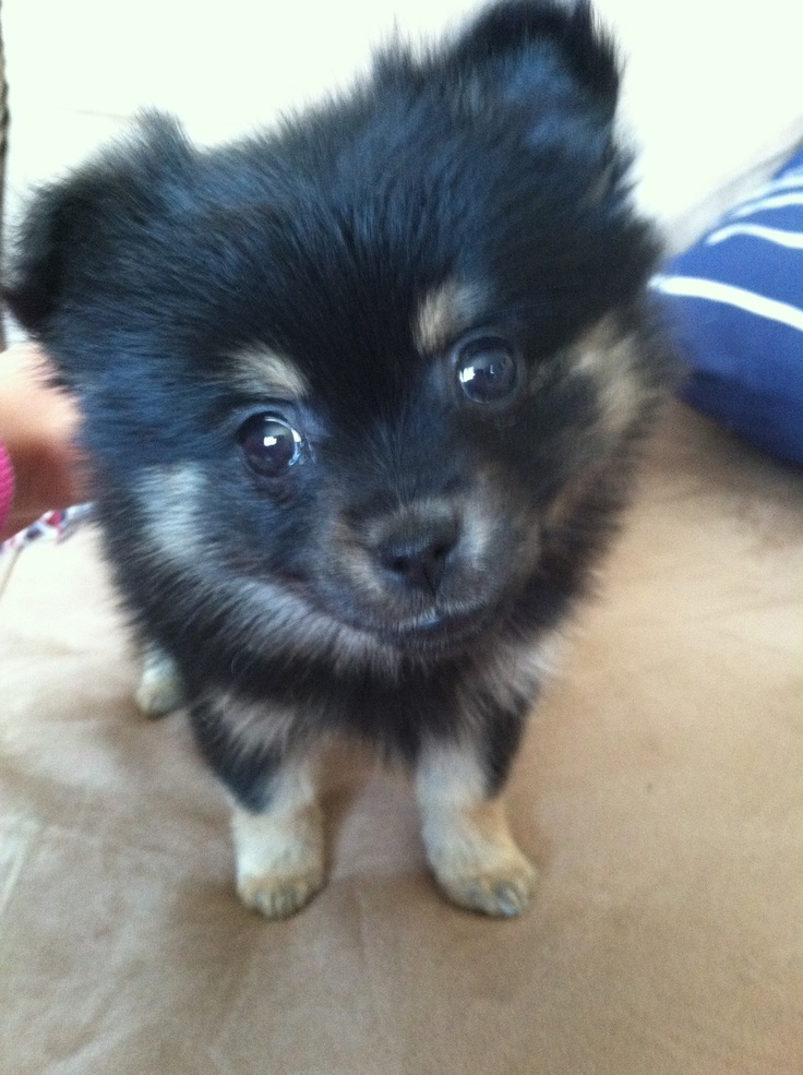 My 9 week old toy Pomeranian. <3 I'm in love.