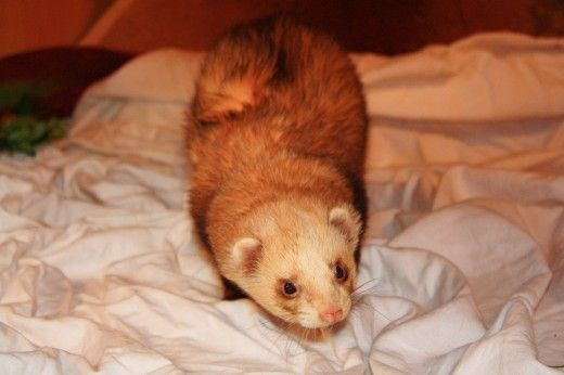 Great tips. Want to add: Borax as directed to the wash. Swab the ears every week. As the Hub article says: Ferrets will smell like Ferrets. Not stink mind you.