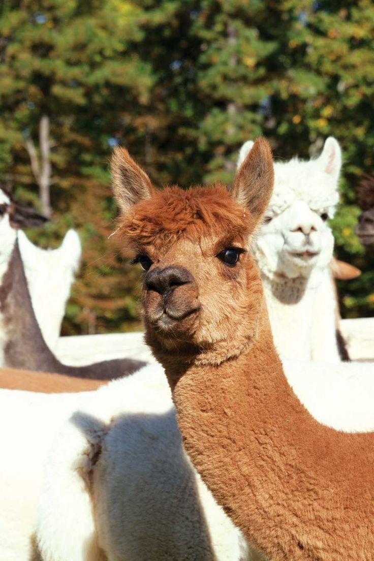 All About Raising Alpacas from Grit Magazine -- Learn everything you need to know about raising alpacas, including buying, feeding, breeding, and much more.