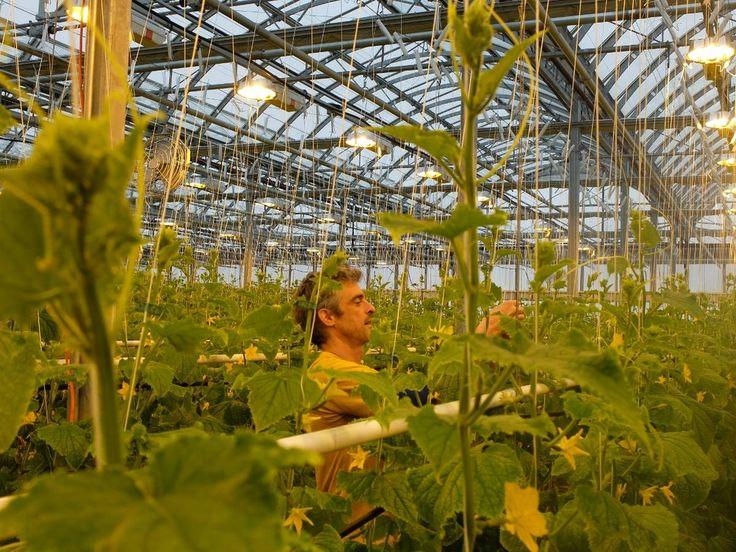 I Montreal har fastighetsägare fått möjligheten att hyra ut sina annars oanvända tak, samtidigt som takväxthusföretaget Lufa Farm förser stadsborna med närproducerade grönsaker, oberoende av årstid.