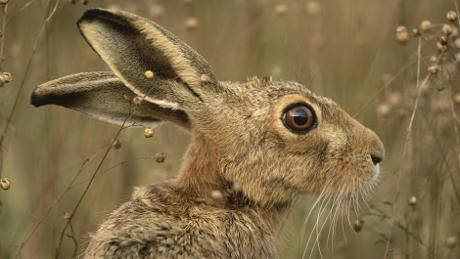 Close up image of a brown hare in field for face shape.