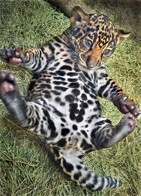 Our jaguar cubs have names! This is the male, Tikal, named for an important Mayan cultural center. The female is Maderas, named for a volcano in Nicaragua. Photo by Ion Moe.