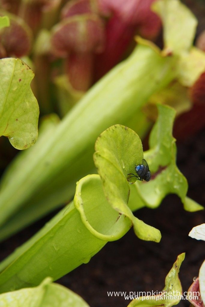 This is Sarracenia flava var. rugelii - a fly is about to enter the pitcher.
