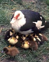 Mucovy Ducks. First choice for small farms and backyards. Muscovy ducks can lay up to 195 eggs a year over a 40-week season. They'll nest three or four times during the season, hatching up to 20 ducklings a time. That leaves plenty of eggs for you, and LOTS of great meat! Poultry for small farmers: Journey to Forever