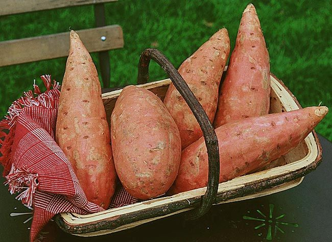 Feuilles et tubercules, tout les parties de la patate douce se consomment. A condition de savoir comment les récolter et les conserver. Conseils.