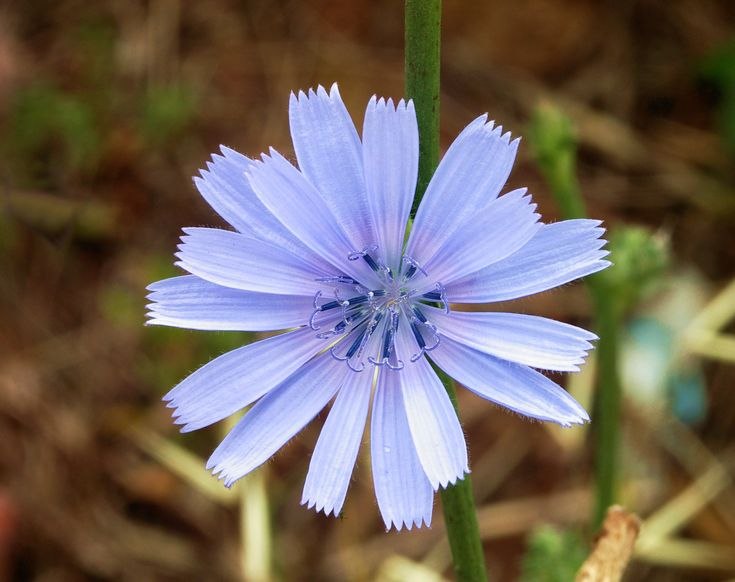 Chicory (Cichorium intybus) - Frugality