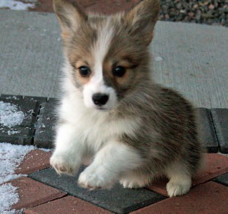 """A Corgi """"fluffy"""".  Adorable but not recognized by AKC because of their long silken hair."""