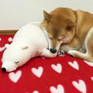 """柴犬, Shiba Inu <3 ~lisa """"Good nigh!! シロクマさんのプリケツ気持ちE #やわらかいシロクマ #オススメ  """"(c)"""