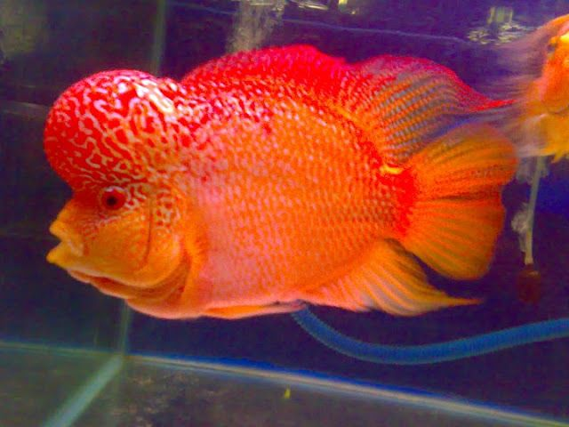 flowerhorn cichlid | INSPIRE - Beautiful Planet ...