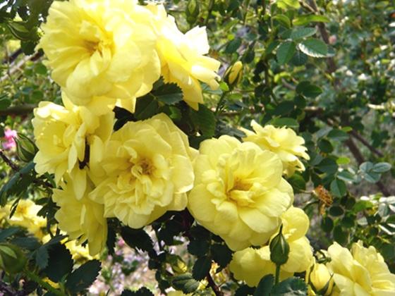 Harrisons 'Persian' Yellow Rose Bush Yellow Rose