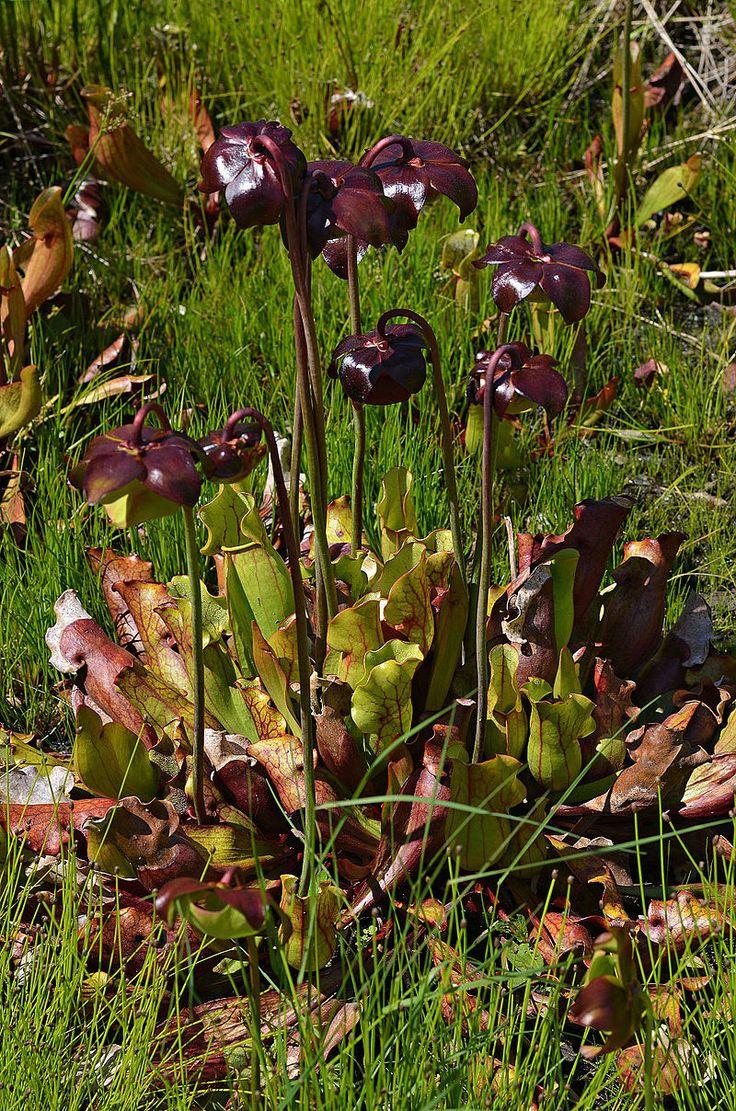 19 best Wetland Plants images by Carmela Romano on Pinterest ...