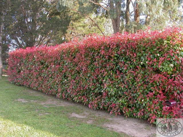 Photinia robusta fast growing evergreen hybrid with for Fast growing fence covering plants