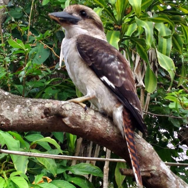 Kookaburra, Salamander Bay, Port Stephens