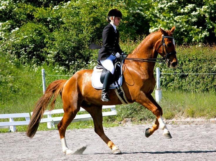 Horses for sale - DON PEDRO - Ridehesten.com