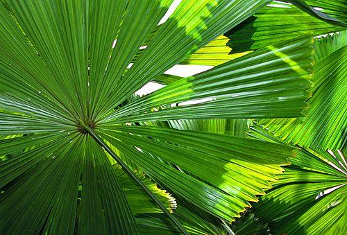 Australian Fan Palms
