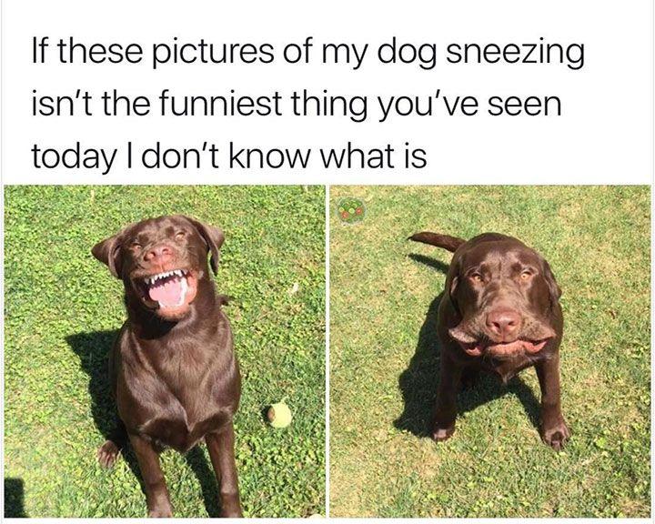 Justviral Co Dog Sneezing Funny Dog Memes Dog Memes