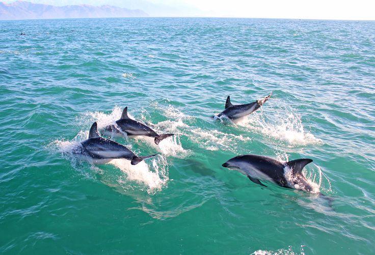 A day with the dusky dolphins of Kaikoura