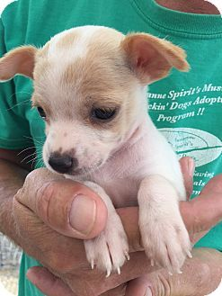 Pictures of Bella Cuddles Puppy a Boston Terrier/Chihuahua Mix for adoption in Corona, CA who needs a loving home.
