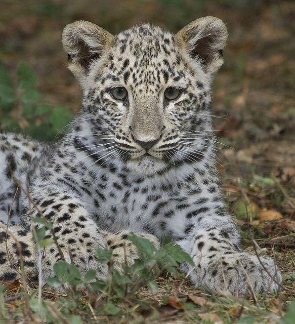 ~~Gorgeous Baby !! ~ Snow Leopard by wendysalisbury~~