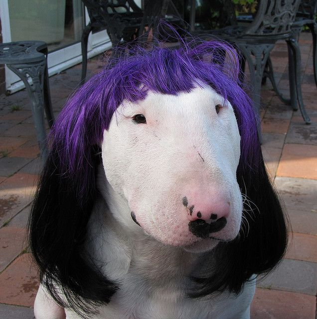 Dog meets hairdresser with her own ideas of what will look good on her.
