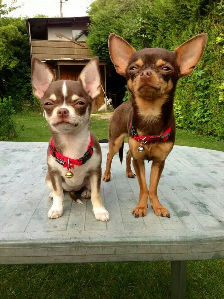 Chihuahua's standing their ground