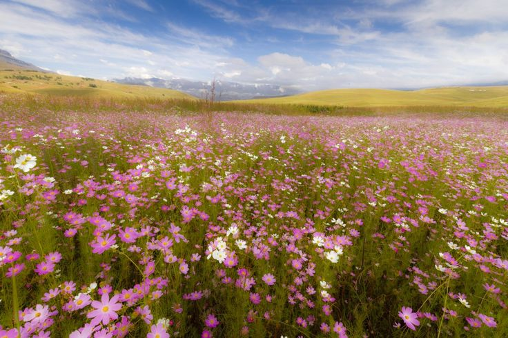Cosmos in front of Giants Castle, #Drakensberg by Fred Swart #Photography http://www.n3gateway.com/news5/17/151/Fred-Swart-Lens-of-Africa-Photography/d,detail.htm