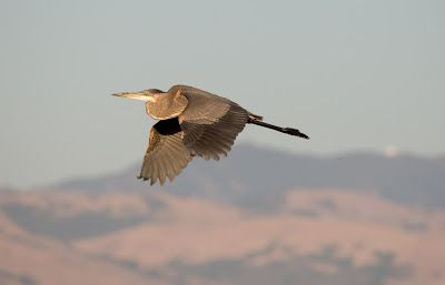 Great Blue Heron (Ardea herodias) flying. Credit: © Yuval Helfman / Fotolia