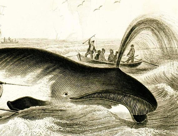 1861 North Atlantic right whale Antique Engraving whale | Etsy | Whale, Antique prints, Antiques