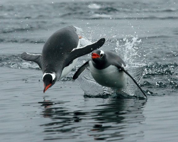 """Gentoo penguins """"porpoise"""" by jumping out of the water. They can move faster through air than water, so will often porpoise to escape from a predator. Photo: Gilad Rom (Flickr)"""