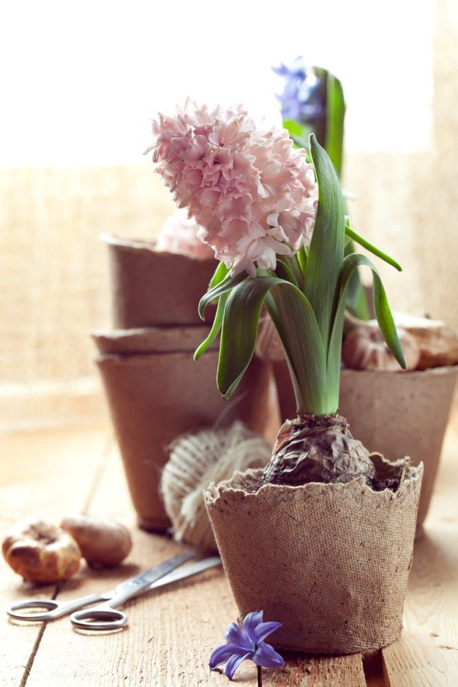 Hyacinth flowers in compostable pots, flower bulbs and gardening by Svetlana ImagineIsle SVphoto on 500px