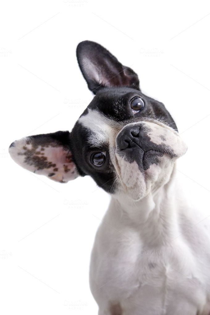 white and black french bulldog by Click and Photo on Creative Market