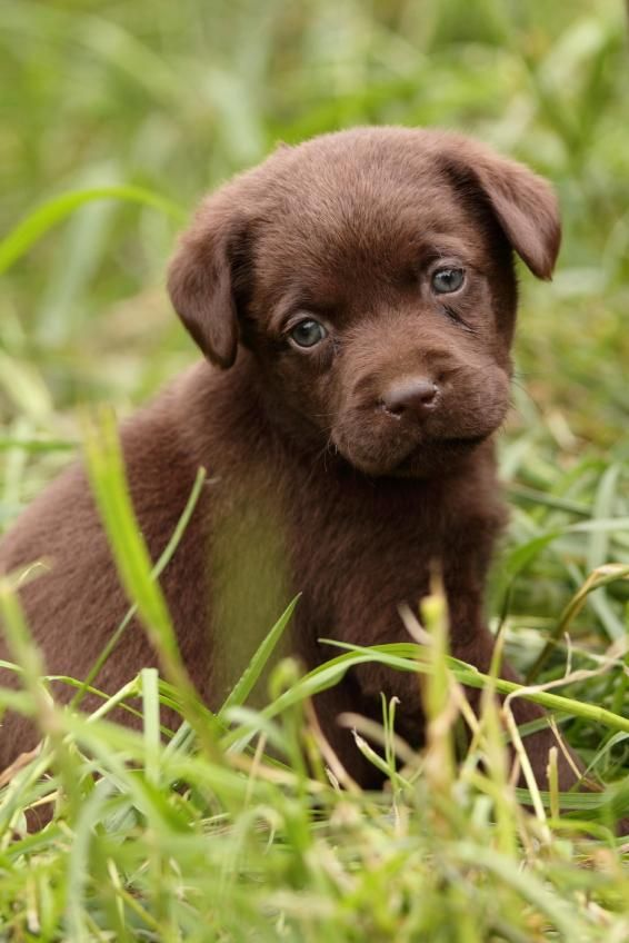 Is there anything cuter than this chocolate lab puppy?
