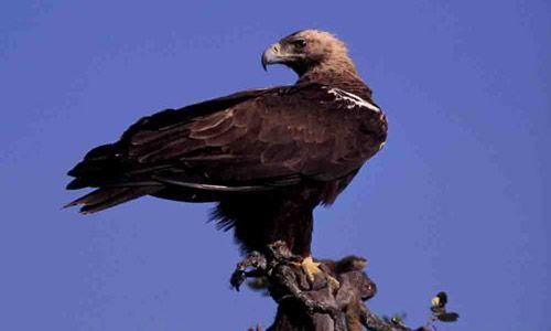 Fotos del Águila Imperial Ibérica