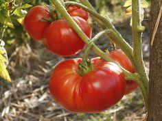 Cultiver les tomates précoces avec la lune. Rustica vous recommande les meilleures variétés.