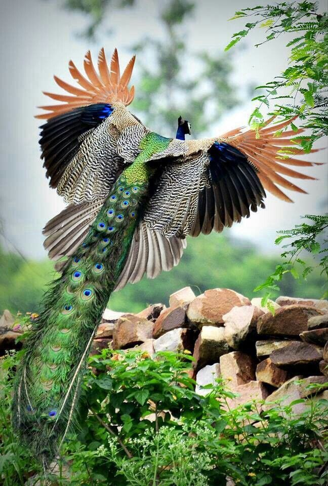 Peacock in Flight...I had no idea that they are even more spectacular in flight!