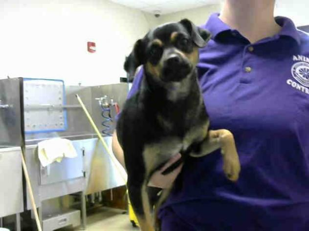 ABBY • Pug & Chihuahua Mix • Young • Female • Small Cumberland County Animal Services Fayetteville, NC