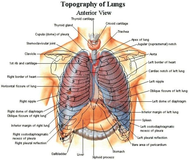 Human Rib Anatomy Human Rib Anatomy Human Body Organs Diagram Bladder Lovely Organ Diagram With Ribs Anatomy Organs Human Body Anatomy Human Anatomy Picture